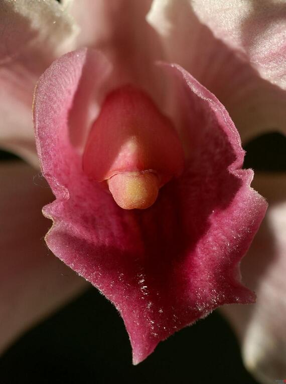 Эротика распустившийся цветок