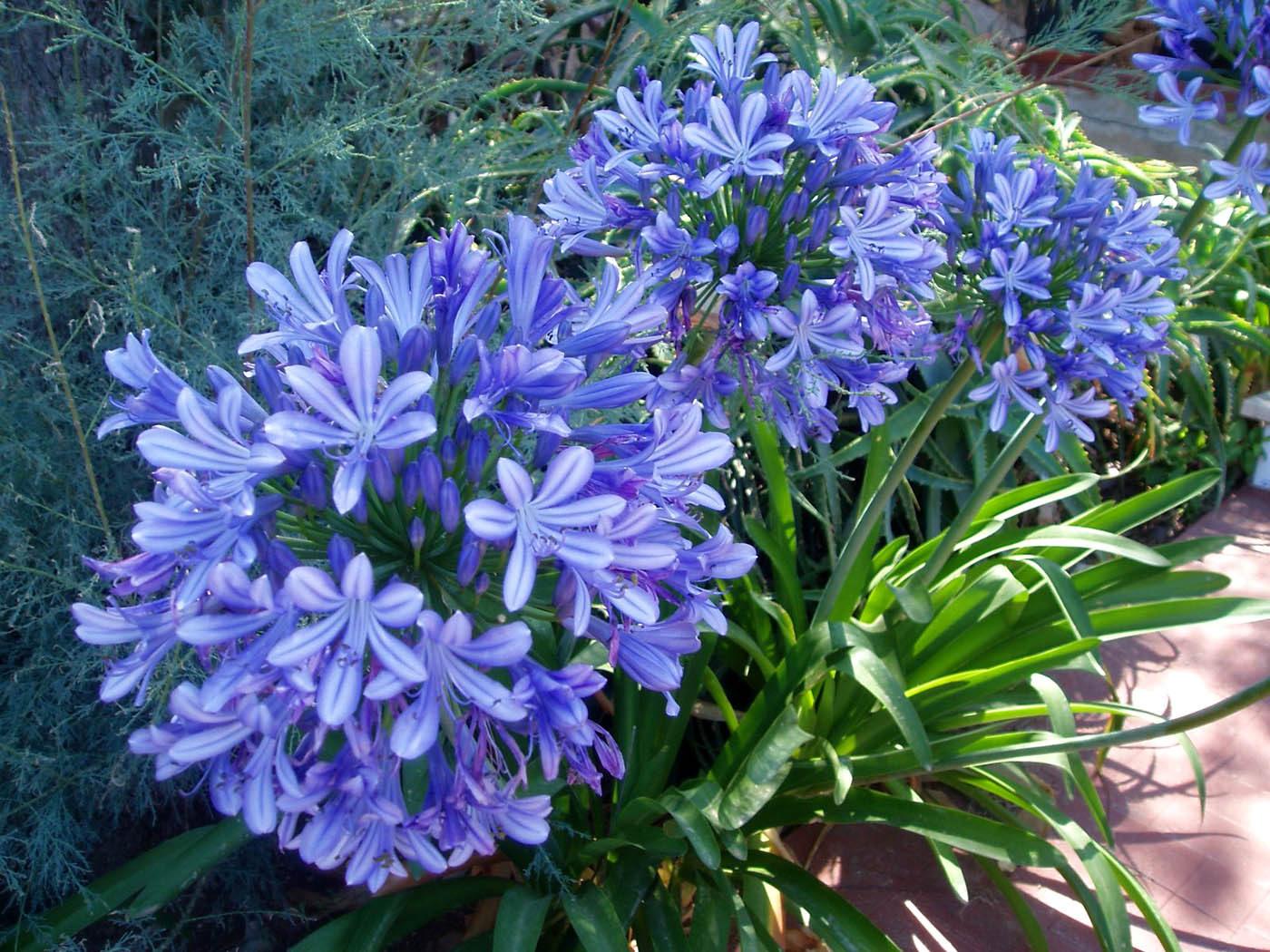 Агапантус выращивание из семян в домашних условиях 35