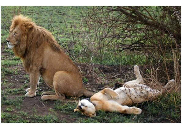 Лев после знакомства