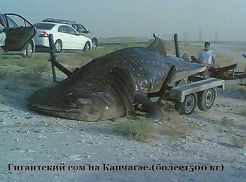 рыбак поймал рыбу он сказал что хвост весит 1 кг голова столько