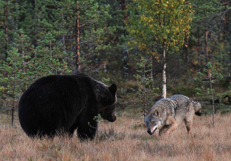 Волк медведь фото