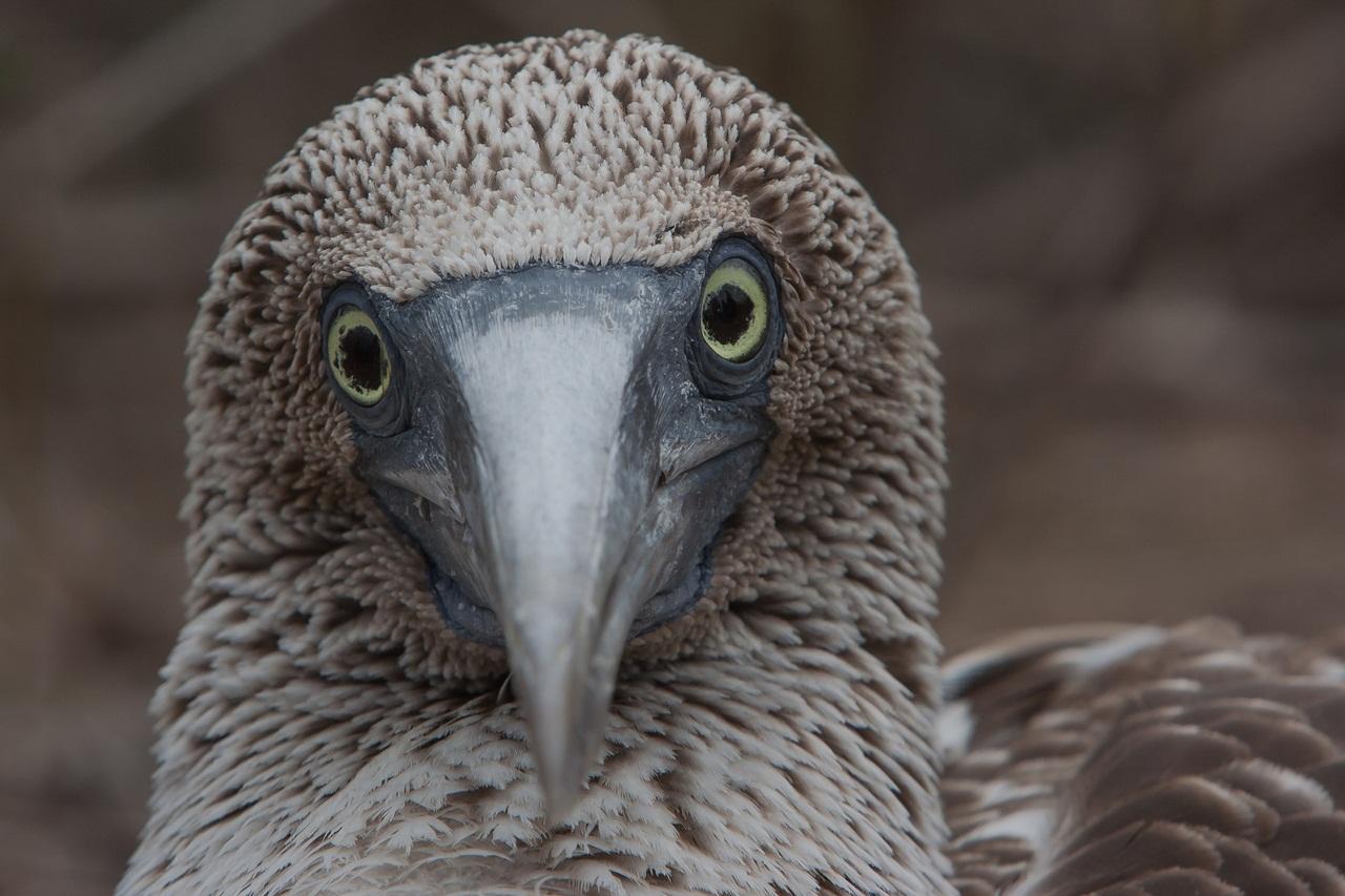 Голубая птица фото олуша